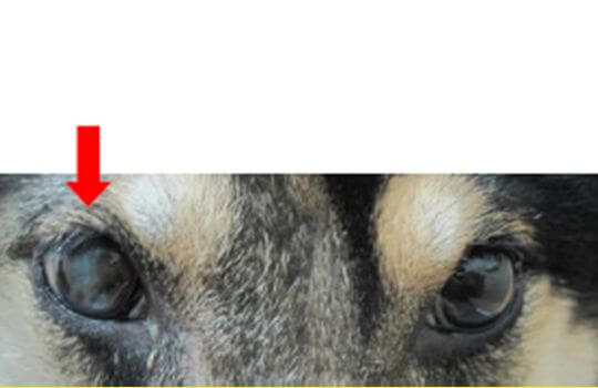 緑内障 矢印:手術後(義眼挿入)