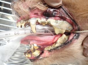 写真4 この症例の状況まで進行すると、全抜歯をしなければならなくなります。