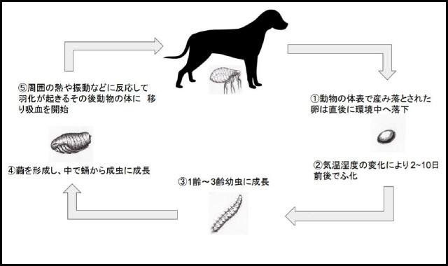 図2ノミのライフサイクル