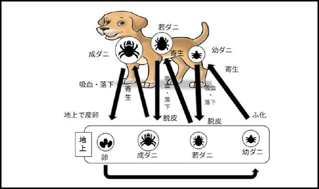 図3マダニのライフサイクル